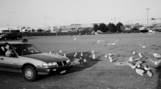 The gulls shown in the parking lot may well mob people who try to feed them. Their droppings may foul cars.